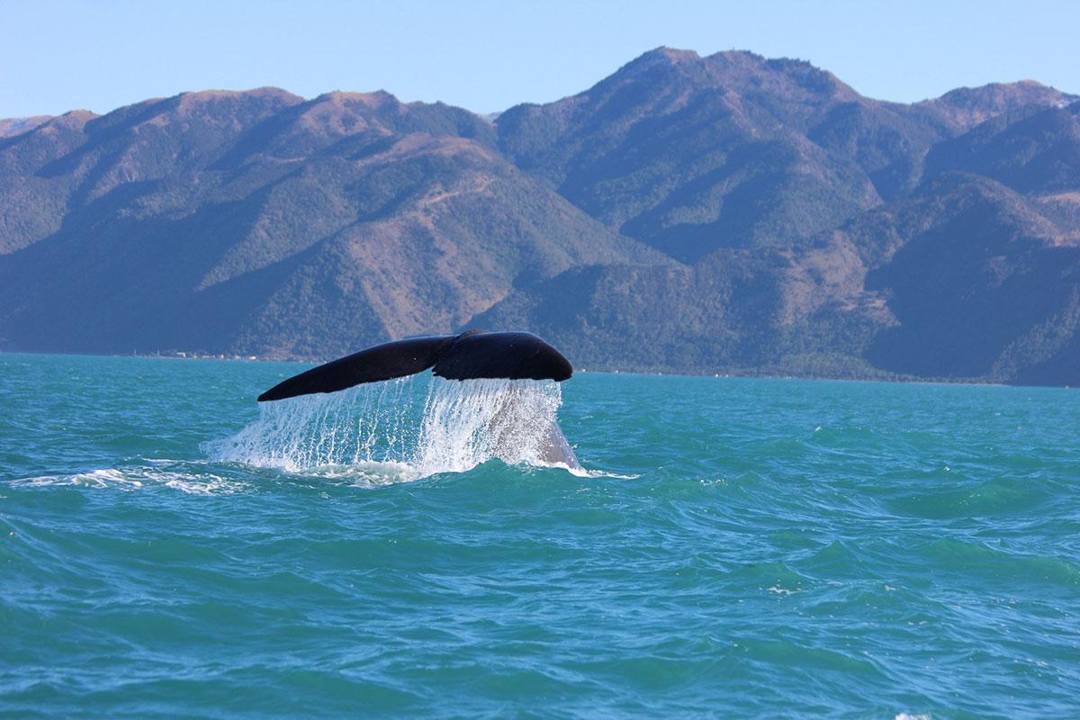 observation des baleines Kaikura Nouvelles Zélande