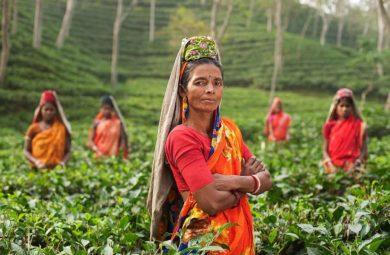 Femmes indiennes dans plantations de thé