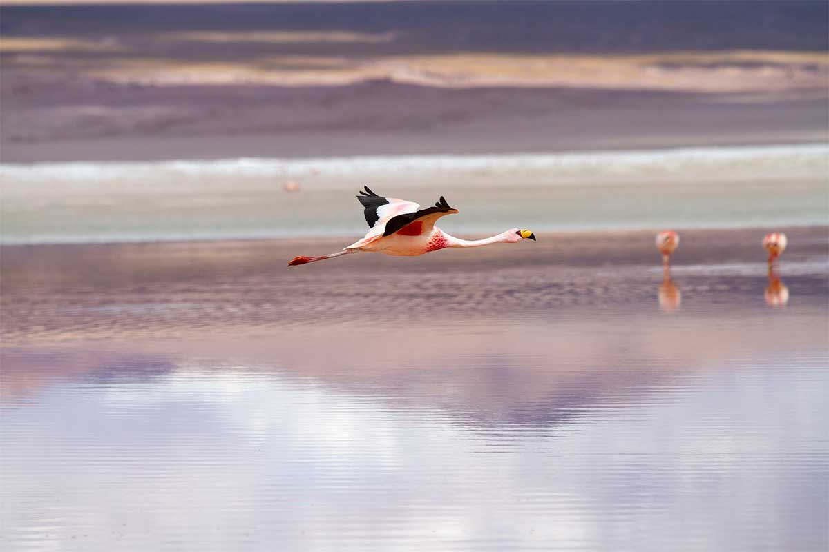 flammant rose bolivie