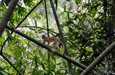 singe dans l'Amazonie bolivienne