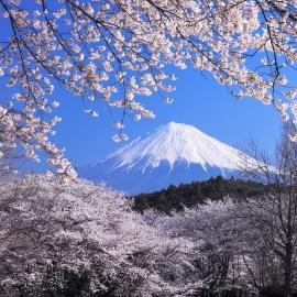 S jour japon temps de cerisiers au japon printemps 2018 en 14 jours - Greffe du cerisier au printemps ...